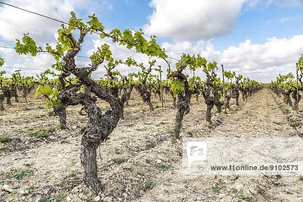 Weinreben  Nissan-lez-Enserune  Region Languedoc-Roussillon  Frankreich
