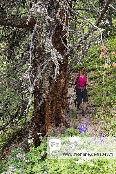 Frau beim Wandern durch den Arvenwald  God Tamangur-Wald  Val S-charl  Schweizerischer Nationalpark  Graubünden  Schweiz Frau beim Wandern durch den Arvenwald, God Tamangur-Wald, Val S-charl, Schweizerischer Nationalpark, Graubünden, Schweiz