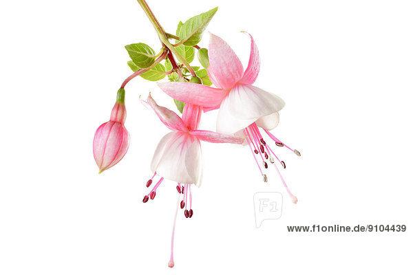 Fuchsie (Fuchsia)  Blüten und eine Knospe