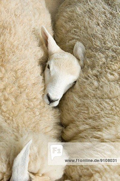 Blick über den Kopf der Lämmer zwischen zwei Schafen Blick über den Kopf der Lämmer zwischen zwei Schafen
