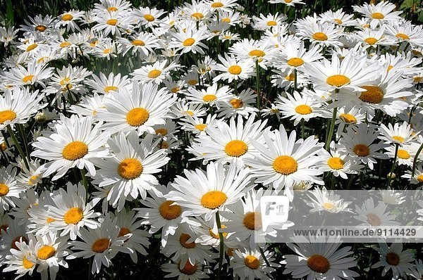 Gänseblümchen  Bellis perennis  Blume  Chrysantheme  Maximum