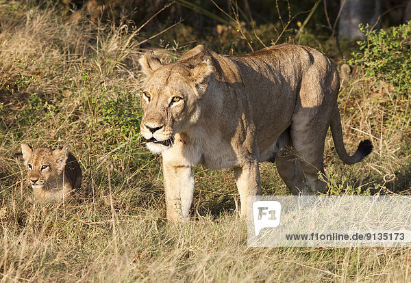 Lioness with Offspring  Moremi National Park  Okavango Delta  Botswana  Africa