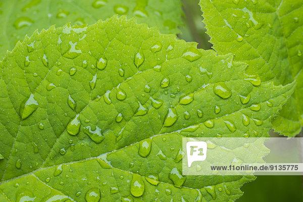 Regentropfen Gartenhortensie Hydrangea macrophylla British Columbia Kanada Vancouver Island