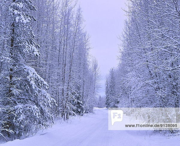 A winter scenic of a snow covered country road lined with snow covered trees on each side. Image captured near Hinton  Alberta  Canada
