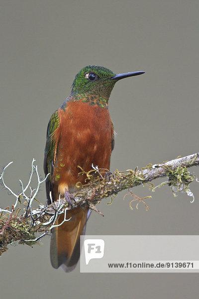 Ast  hocken - Tier  Peru