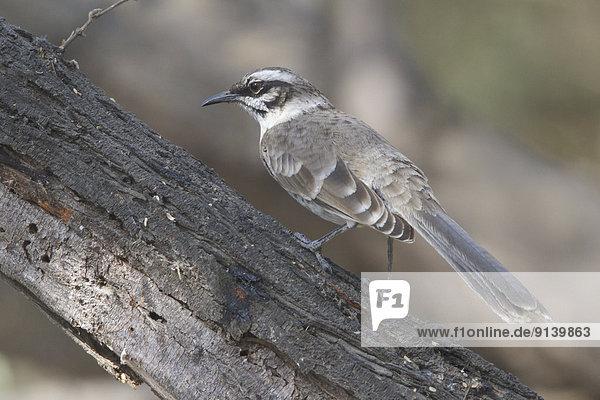 Ast  hocken - Tier  Spottdrossel  Mimus polyglottos  Peru
