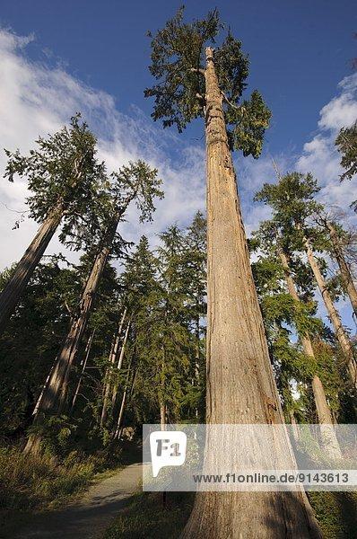 folgen  Baum  Wachstum  Kathedrale  übergroß  vorwärts  British Columbia  Kanada  alt  Stanley Park  Vancouver