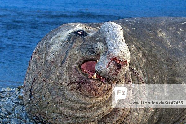 Bulle Stier Stiere Bullen ankommen Südlicher Seeelefant Mirounga leonina Küste brüllen - Tierlaut Antarktis