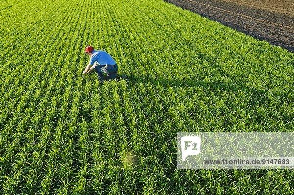 nahe Mann Wachstum Feld früh Weizen Niederlande Pfadfinder