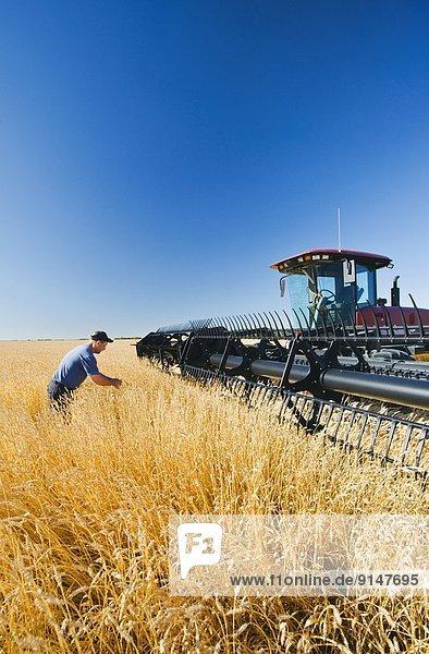 Nutzpflanze  Hintergrund  reifer Erwachsene  reife Erwachsene  Weizen  Prüfung  Kanada  Manitoba