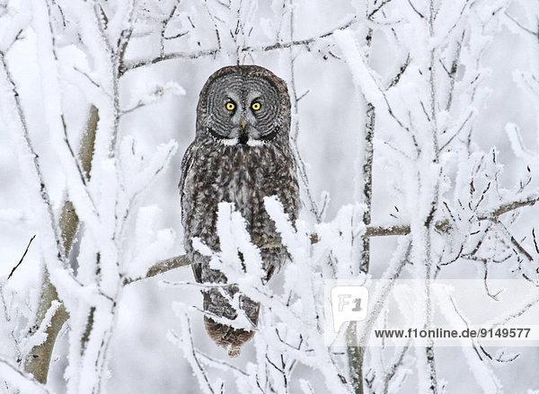 Bartkauz  Strix nebulosa  Wald  hocken - Tier  Saskatchewan  Kanada  Schnee