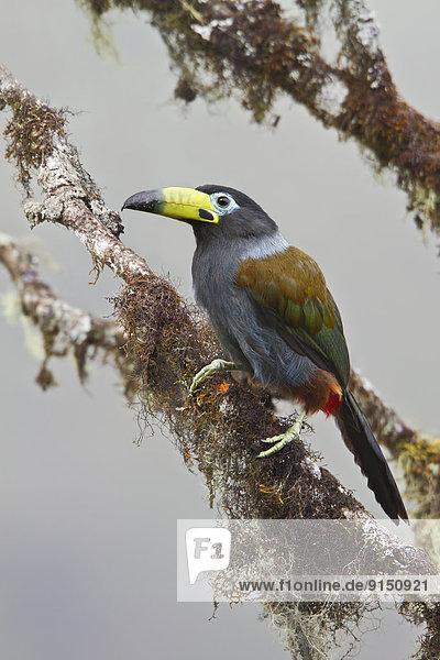 Berg  Ast  Kapuzenjacke  hocken - Tier  Bolivien  Südamerika  Tukan