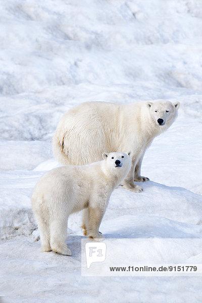 Eisbär  Ursus maritimus  Mutter - Mensch  junges Raubtier  junge Raubtiere