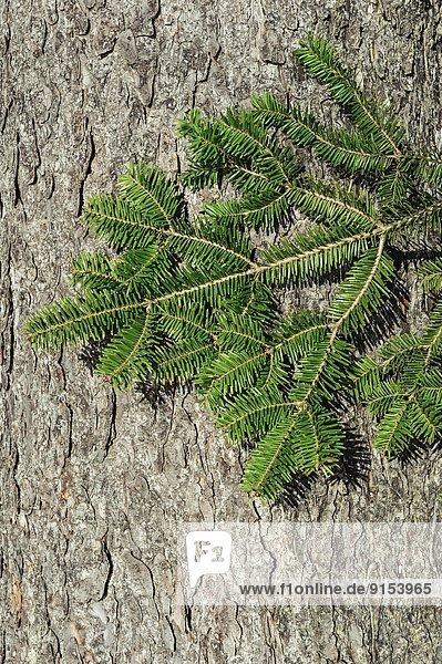 Baum  Kanada
