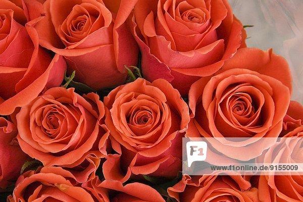 hoch  oben  nahe  Ottawa  Hauptstadt  Frische  schneiden  rot  Rose  Außenaufnahme  verkaufen  Kanada  Markt  Ontario