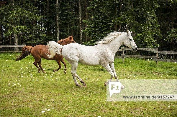 rennen  grün  Feld  Kastanie  British Columbia  Kanada
