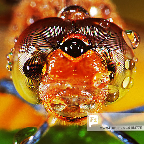 Augen einer Heidelibelle Augen einer Heidelibelle