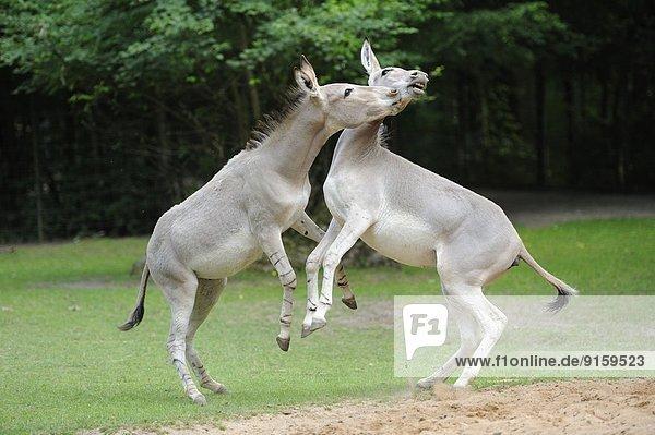 Zwei Esel spielen auf einer Wiese Zwei Esel spielen auf einer Wiese