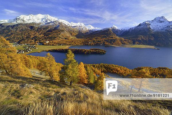 Silsersee mit herbstfarbenem Lärchenwald  verschneiter Piz Corvatsch und Piz da la Margna  Sils Baselgia  Sils Maria  Engadin  Kanton Graubünden  Schweiz