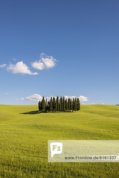 Zypressen (Cupressus sempervirens) und Getreidefeld  Val d'Orcia  bei Torrenieri  Provinz Siena  Toskana  Italien