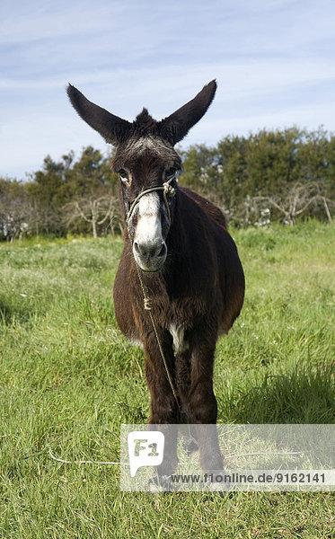 Esel auf der Wiese  Algarve  Portugal