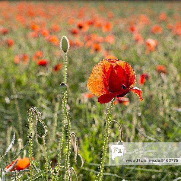 Corn Poppy (Papaver rhoeas) in a field