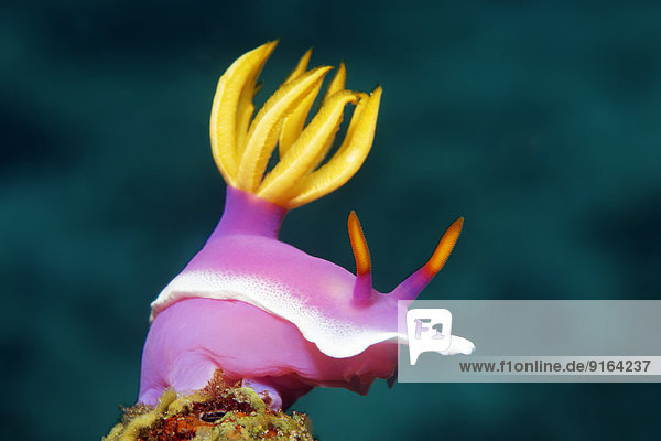 Bullock-Sternschnecke (Hypselodoris bullockii)  Sabang Beach  Puerto Galera  Mindoro  Philippinen Bullock-Sternschnecke (Hypselodoris bullockii), Sabang Beach, Puerto Galera, Mindoro, Philippinen