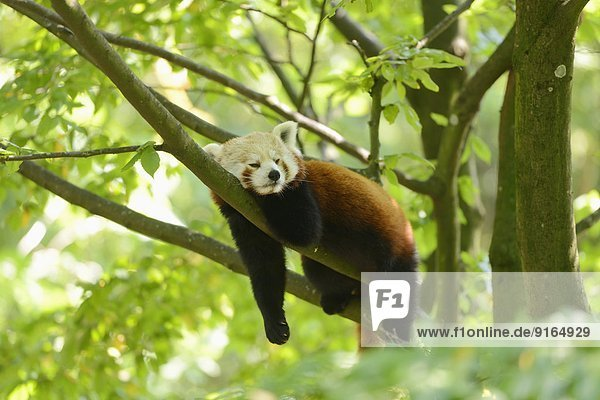 Kleiner Panda liegt auf einem Ast Kleiner Panda liegt auf einem Ast