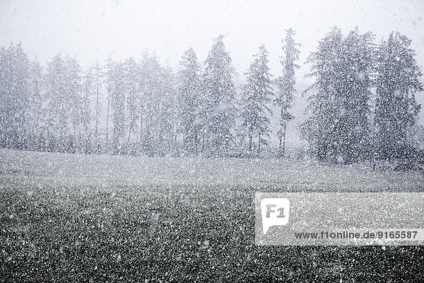 Snowfall in spring at Mieminger Plateau,  Tyrol,  Austria