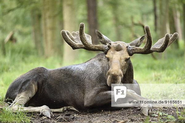 Elchbulle liegt in einem Wald Elchbulle liegt in einem Wald