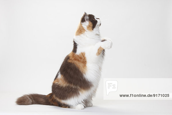 Portrait of British Longhair Cat begging in front of white background