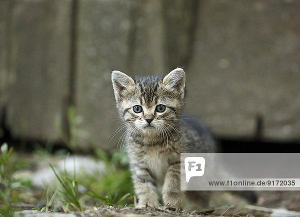 Tabby kitten  Felis silvestris catus  with blue eyes