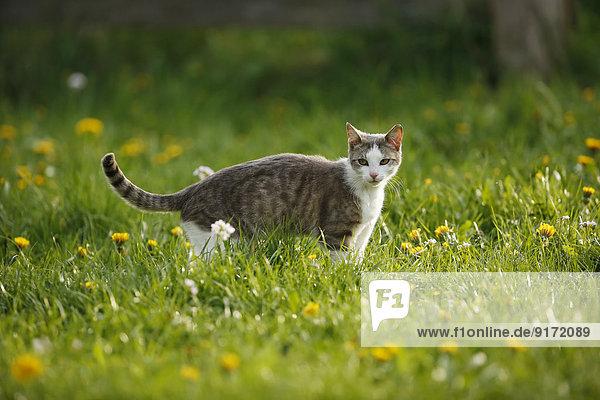 Germany  Baden-Wuerttemberg  Grey white tabby cat  Felis silvestris catus  standing on meadow