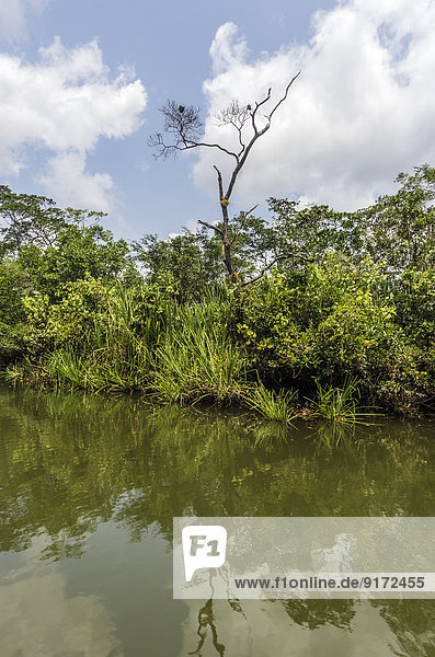 Indonesia  Riau Islands  Bintan Island  Mangrove trees