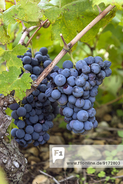 Croatia  Peljesac  Ston  Dubrava  Ripe grapes of the variety Plavac Mali at vine stock