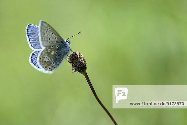 Common blue  Polyommatus icarus  sitting on blossom