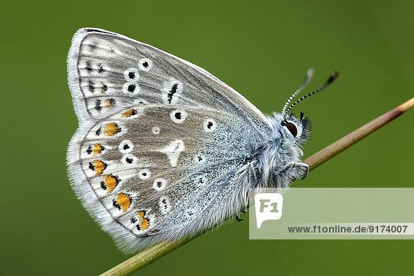 England  Common Blue  Polyommatus Icarus