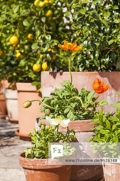 Citrus  poppies  Papaver  and common jasmine  Jasminum officinale  planted in clay pots standing in sunny garden