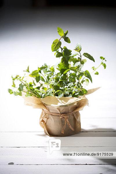 Pfefferminze  Mentha piperita  Topfpflanze