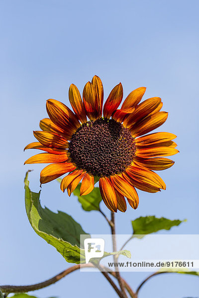 Bicoloured sunflower,  Helianthus annuus,  in front of blue sky