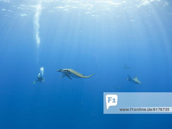 Portugal  Azoren  Santa Maria  Atlantik  Taucher und Mobula Rochen
