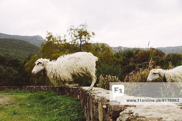 Italien  Sardinien  Alghero  Schafe springen von der Steinwand Italien, Sardinien, Alghero, Schafe springen von der Steinwand