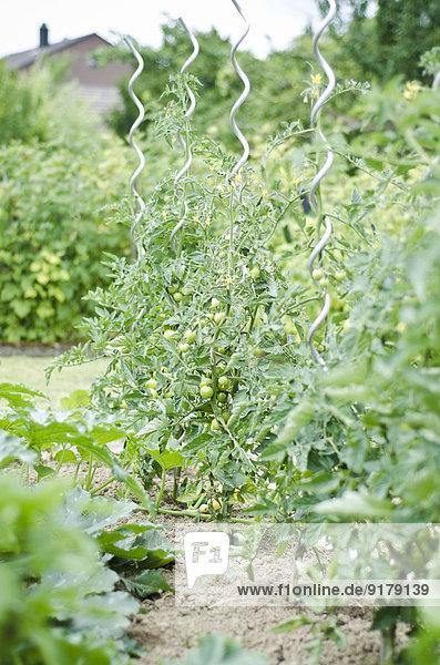 Im Garten wachsende Tomaten