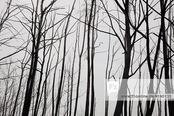 Silhouette kahle Baumstämme gegen klaren Himmel