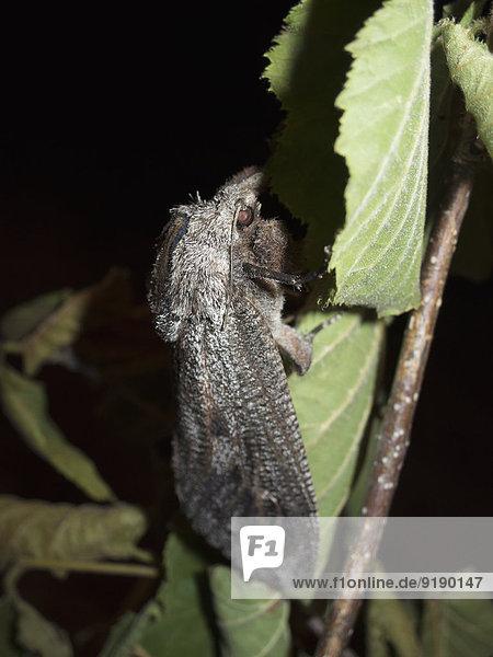 Schwarzes Insekt,  das nachts auf dem Blatt sitzt., Schwarzes Insekt,  das nachts auf dem Blatt sitzt.