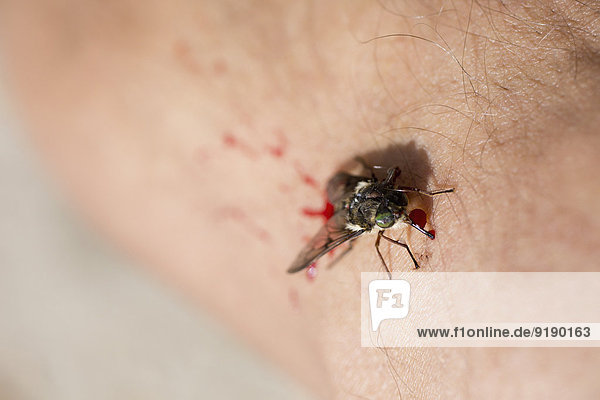 Nahaufnahme einer Fliege und Blut auf der Haut