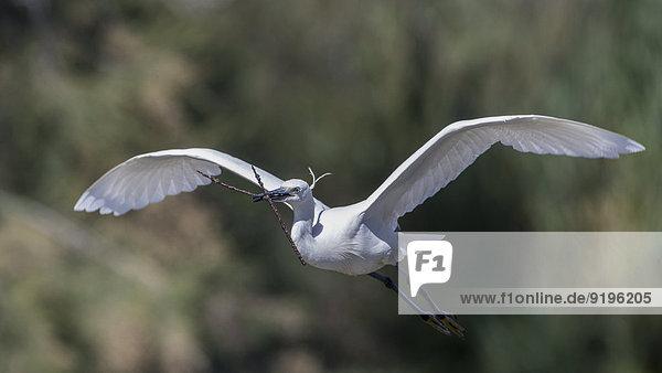 Fliegender Seidenreiher (Egretta garzetta)  Camargue  Frankreich