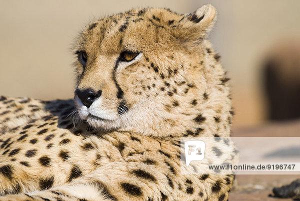 Gepard (Acinonyx jubatus)  Johannesburg  Provinz-Gauteng  Südafrika