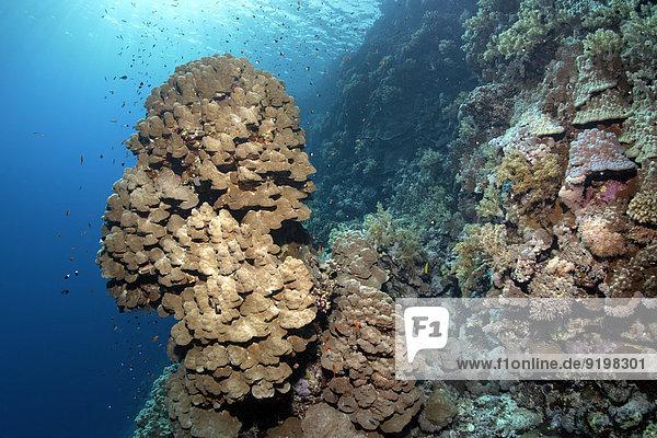 Korallenriff mit Steilabfall und vorspringendem Korallenturm einer Kartoffel-Steinkoralle (Porites nodifera)  Insel Zarbagad  Rotes Meer  Ägypten