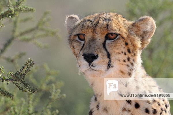 Cheetah (Acinonyx jubatus)  Männchen  Kgalagadi-Transfrontier-Nationalpark  Südafrika